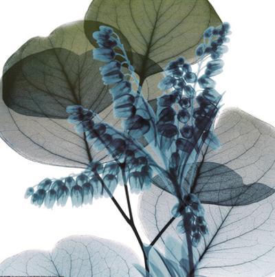 Lilly Of Eucalyptus 2 by Albert Koetsier