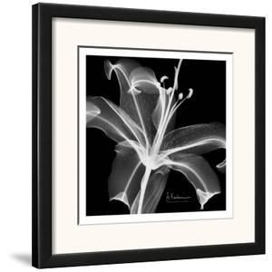 Lily White on Black by Albert Koetsier