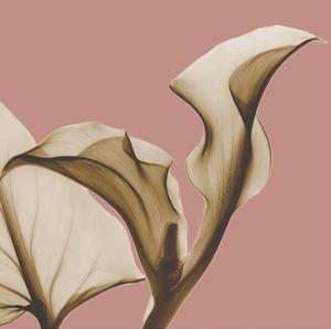 Luster Callaqua by Albert Koetsier