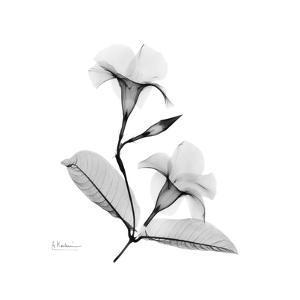 Mandelila Gray by Albert Koetsier