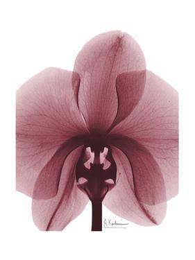 Marcela Orchid by Albert Koetsier