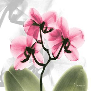 Orchid Pink by Albert Koetsier