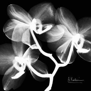 Orchid White on Black by Albert Koetsier