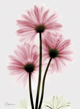 Pink Gerbera Triple by Albert Koetsier