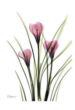 Pink Spring Crocus by Albert Koetsier