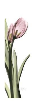 Pink Tulip Part 2 by Albert Koetsier