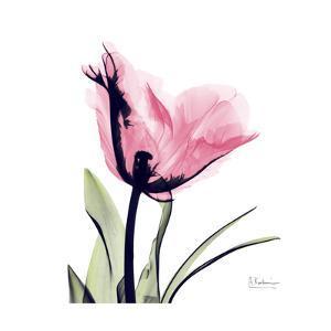 Pink Tulip by Albert Koetsier