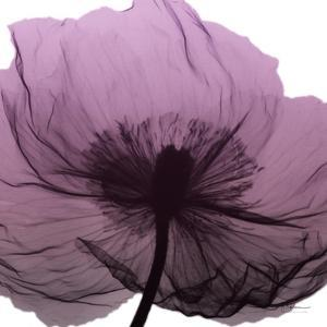 Poppy Purple by Albert Koetsier