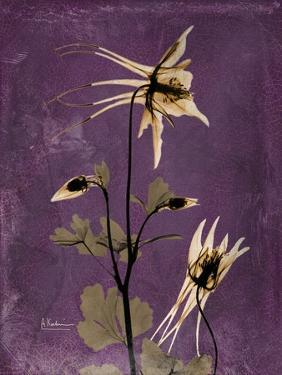 Purple Opus Columbine by Albert Koetsier