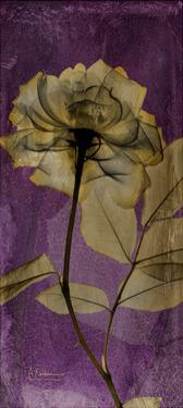 Purple Opus Rose by Albert Koetsier