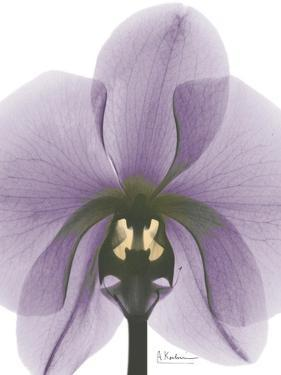 Purple Orchid A29 by Albert Koetsier