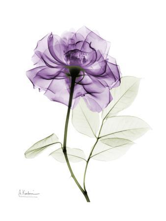 Purple Rose Portrait by Albert Koetsier