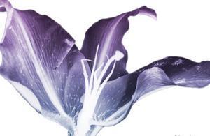 Radiant Blossom 2 by Albert Koetsier