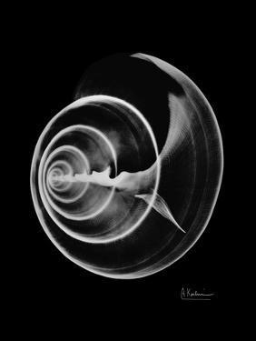 Ramshorn Shell Xray by Albert Koetsier