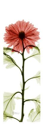 Red Chrysanthemum