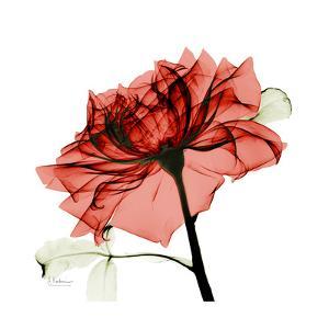 Ruby Rose 1 by Albert Koetsier