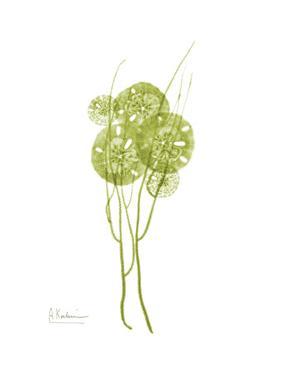Sand Dollar Bloom by Albert Koetsier