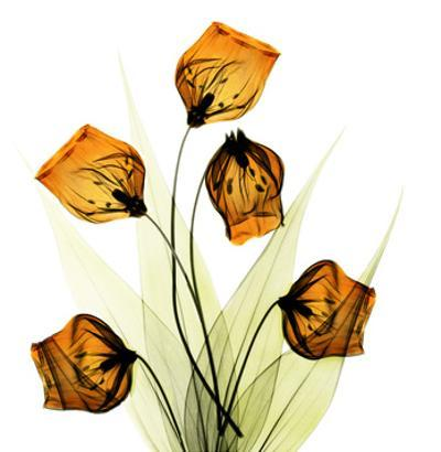 Sandersonia Bunch in Gold by Albert Koetsier