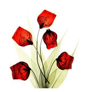 Sandersonia Bunch in Red by Albert Koetsier