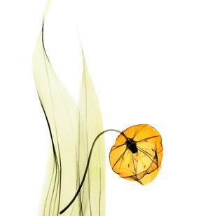 Sandersonia in Gold by Albert Koetsier