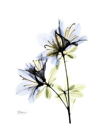 Soft Azalea Portrait by Albert Koetsier