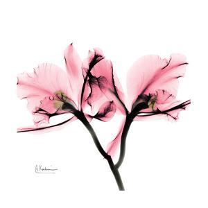 Soft Pink Orchid by Albert Koetsier