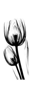 Tulip A52 by Albert Koetsier