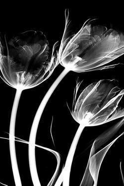 Tulip Bones 1 by Albert Koetsier