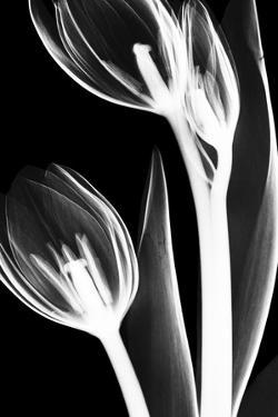Tulip Bones 2 by Albert Koetsier