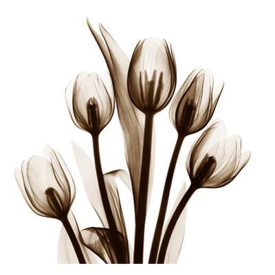 Tulip in Sienna by Albert Koetsier