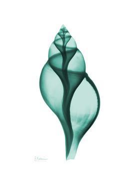 Tulip Shell by Albert Koetsier