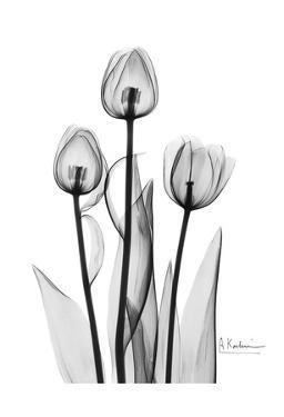 Tulips Black & White by Albert Koetsier