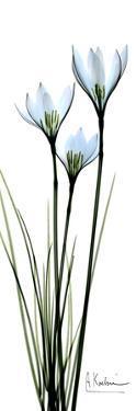 White Lilies in Blue by Albert Koetsier