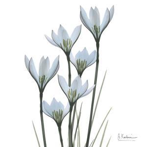 White Rain Lily III by Albert Koetsier
