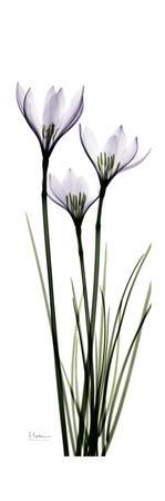 White Rain Lily by Albert Koetsier