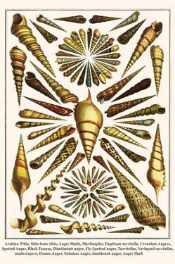 Arabian Tibia, Shin-Bone Tibia, Auger Shells, Marlinspike, Duplicate Turritella, etc. by Albertus Seba