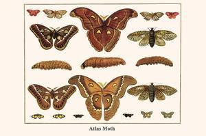 Atlas Moth by Albertus Seba