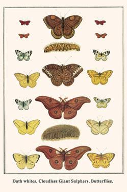Bath Whites, Cloudless Giant Sulphers, Butterflies, by Albertus Seba
