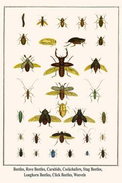 Beetles, Rove Beetles, Carabids, Cockchafers, Stag Beetles, Longhorn Beetles, Click Beetles, Weevel by Albertus Seba