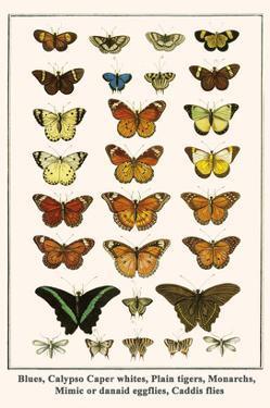 Blues, Calypso Caper Whites, Plain Tigers, Monarchs, Mimic or Danaid Eggflies, Caddis Flies by Albertus Seba
