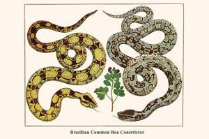 Brazilian Common Boa Constrictor by Albertus Seba