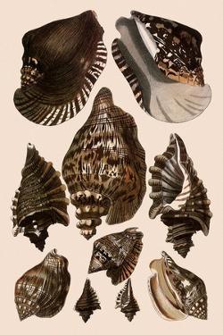 Brown Conch Variations by Albertus Seba