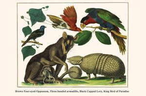 Brown Four-Eyed Oppossum, Three Banded Armadillo, Black Capped Lory, King Bird of Paradise by Albertus Seba
