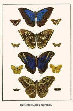 Butterflies, Blue Morphos, by Albertus Seba