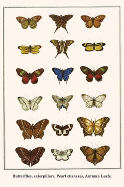 Butterflies, Caterpillars, Pearl Charaxes, Autumn Leafs, by Albertus Seba