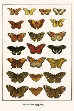 Butterflies, Eggflies, by Albertus Seba