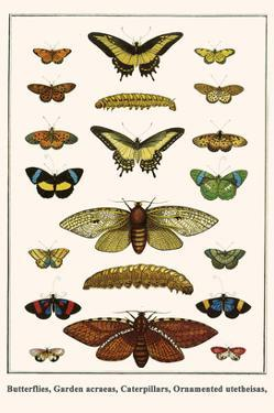 Butterflies, Garden Acraeas, Caterpillars, Ornamented Utetheisas, by Albertus Seba