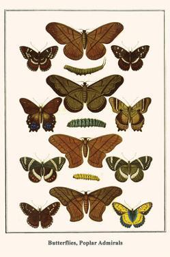 Butterflies, Poplar Admirals by Albertus Seba