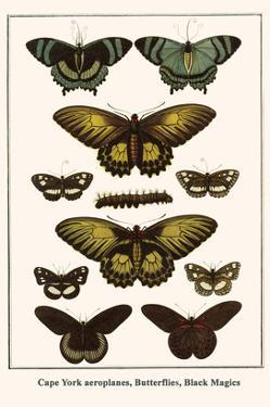 Cape York Aeroplanes, Butterflies, Black Magics by Albertus Seba