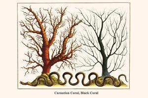 Carnation Coral, Black Coral by Albertus Seba